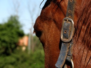 Horse-head-closeup-0A